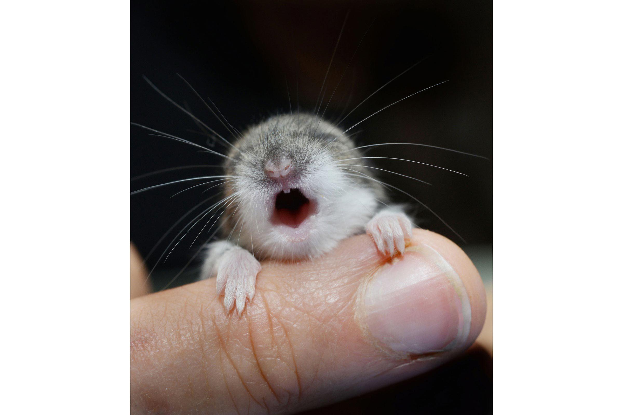 Bébé animaux : souris à pattes blanches de 2 semaines