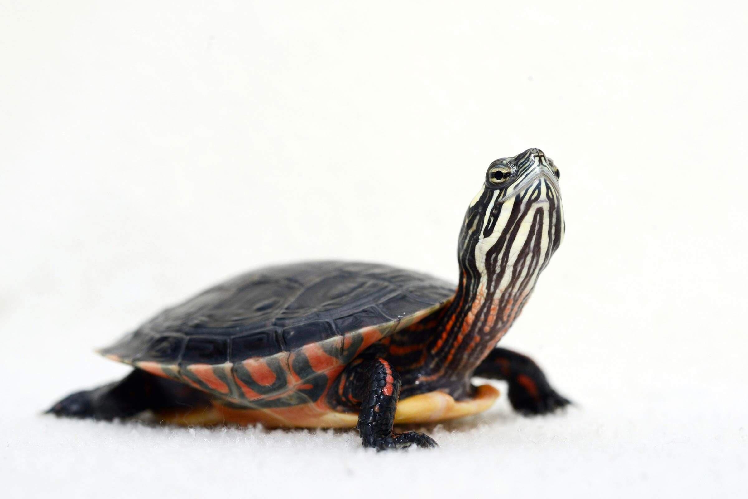 Bébé animaux : tortue peinte de moins de 1 an.