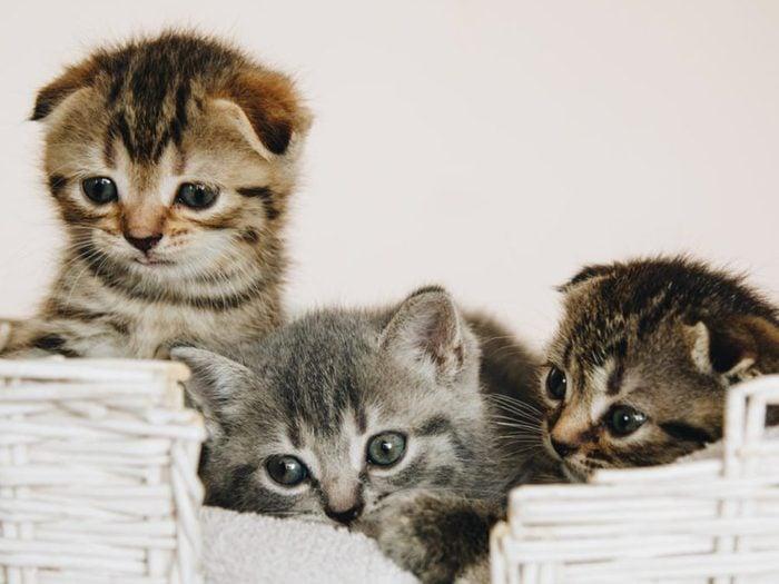 Les chatons de cette race naissent avec les oreilles droites.