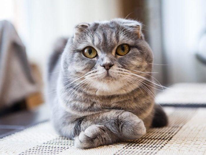 Les chats de cette race ont les oreilles pliées vers l'avant et vers le bas.