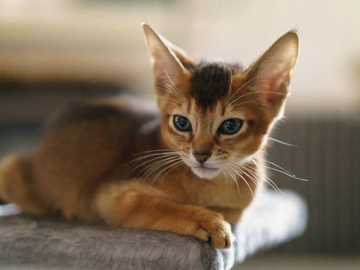 Le chat abyssin a de grandes oreilles.