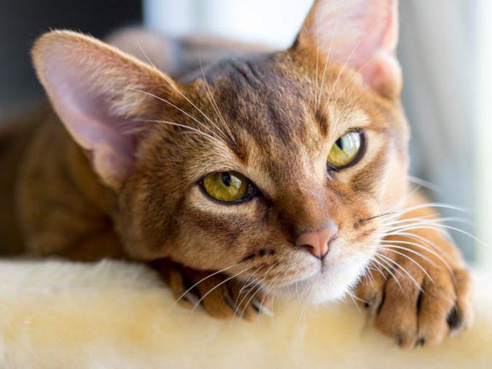 Les chats de type abyssin ont les yeux verts ou dorés.