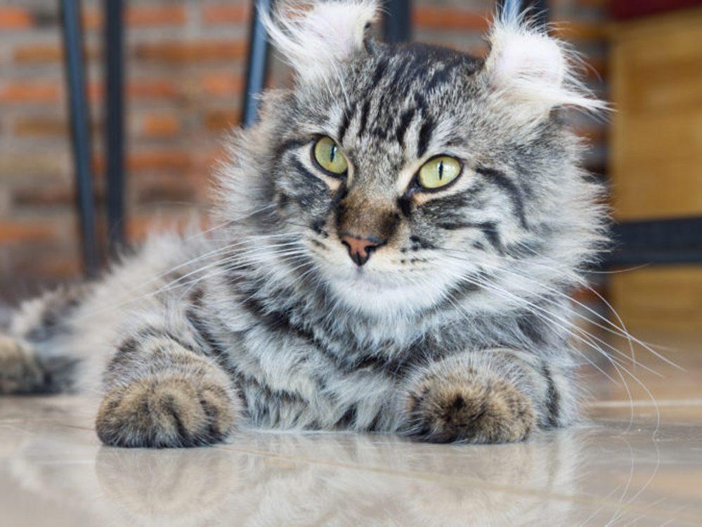 L'American curl est un chat dont les oreilles ressemblent un peu à celles d'un lynx.