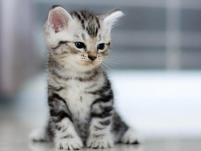 L'American short hair est le chat américain par excellence.