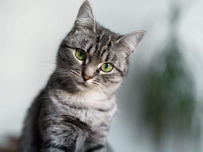 Le chat American shorthair a le pelage court.