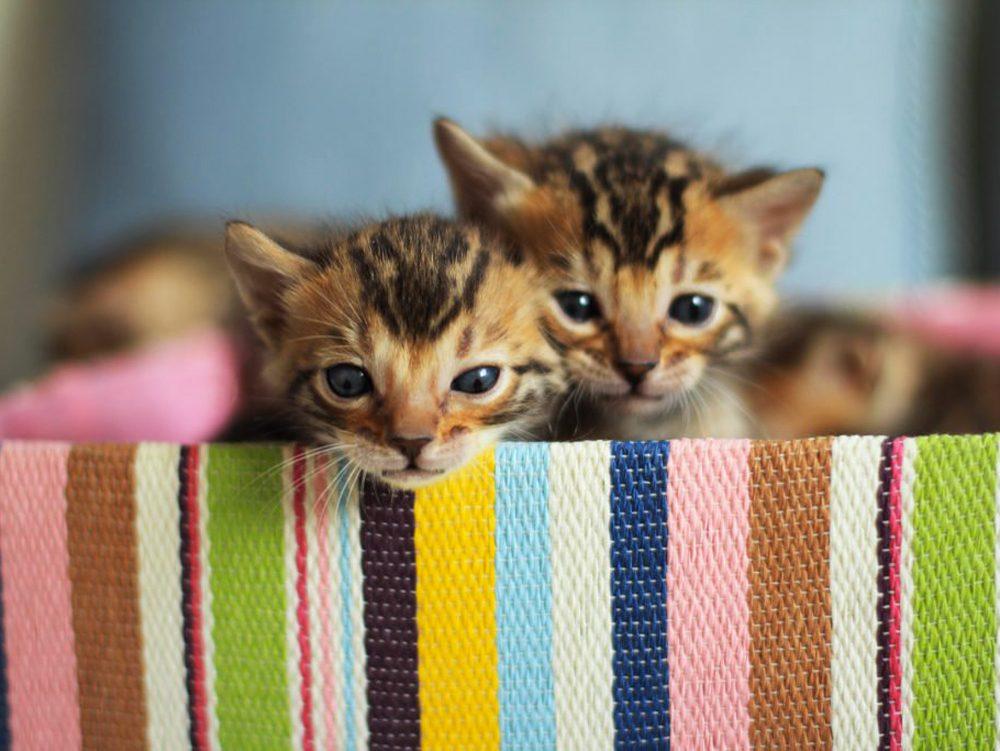 Le chat bengal est énergique.