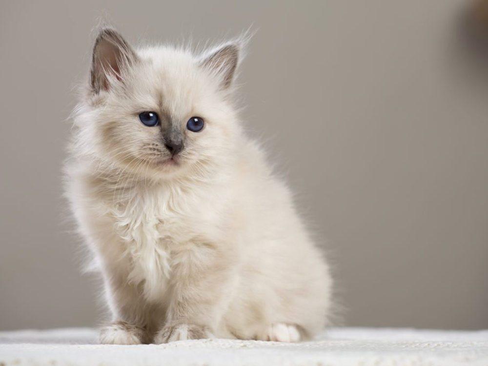 Le chat Sacré de Birmanie nait avec le poil blanc.