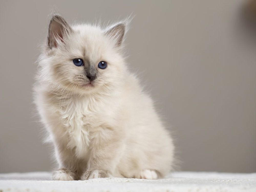 Le chat birman nait avec le poil blanc.