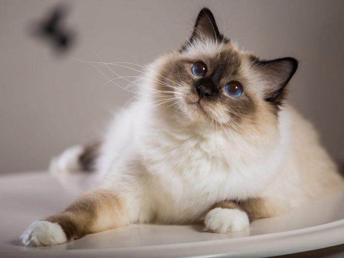 Le Sacré de Birmanie est un chat qui se fonce en devenant adulte.