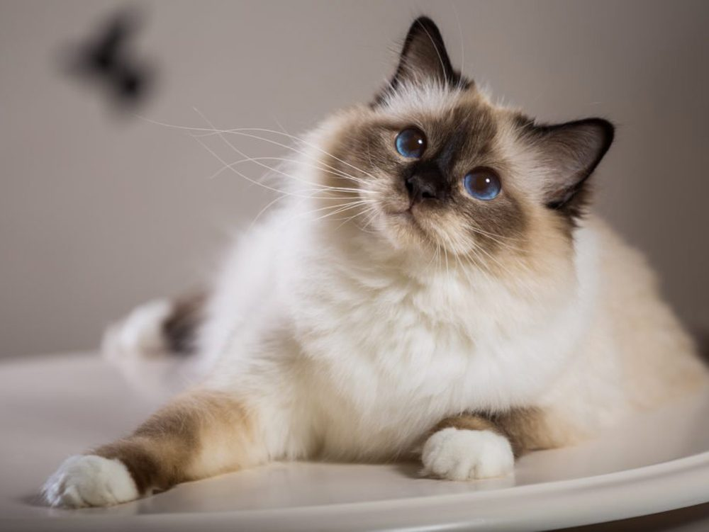 Le chat birman se fonce en devenant adulte.
