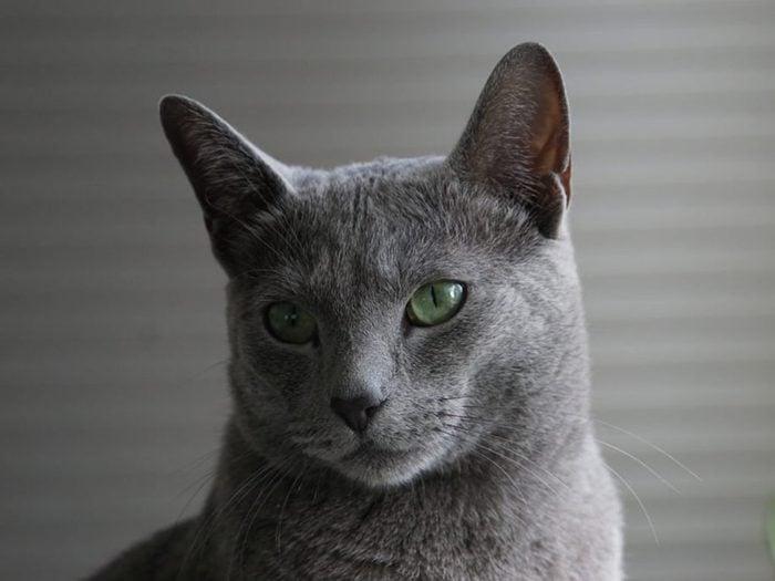 Le bleu russe est un chat aux yeux verts.