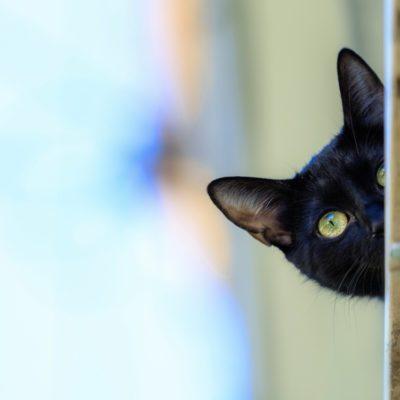 Le chat bombay possède un caractère plutôt enjoué.