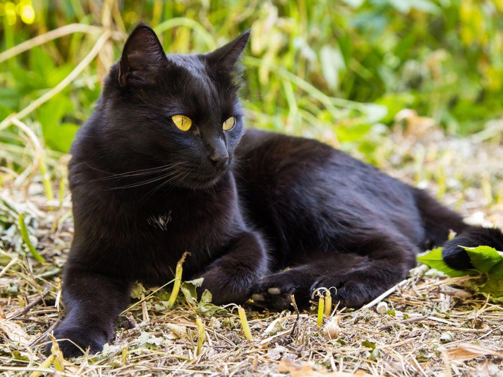 Le bombay est un chat au poil tout noir.