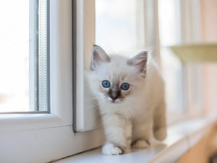 Le chat burmese est intrépide.