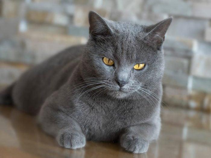 Le poil du chat chartreux a une texture laineuse.