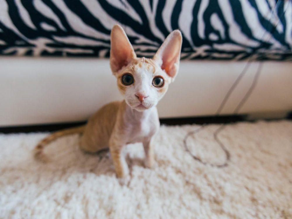 Le chat Devon Rex ressemble un peu à un elf.