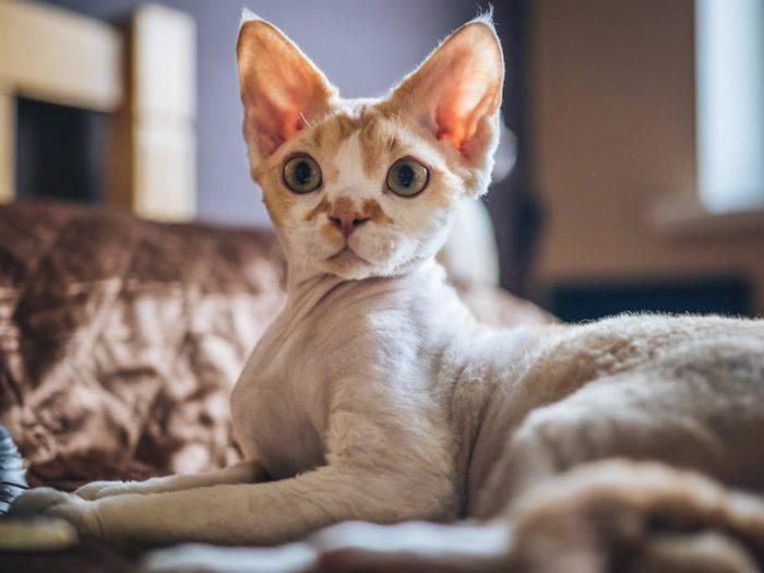 Le chat Devon Rex présente une robe qui forme des vaguelettes.