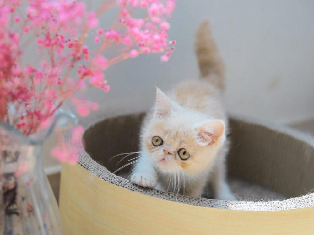 Le chat Exotic ressemble au chat persan.