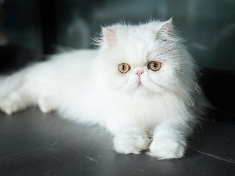 Le chat Exotic est doux et loyal.