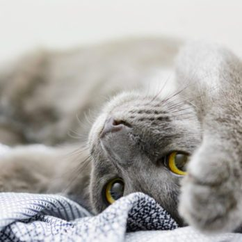 Saurez-vous deviner la race de ces 25 chats?