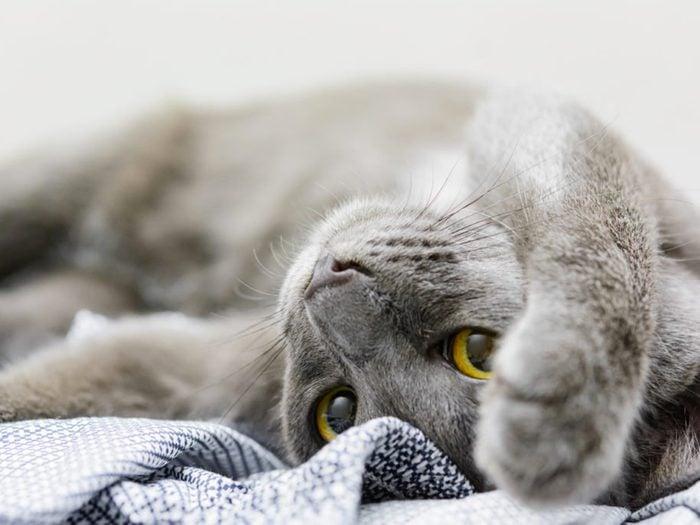 Le korat est un chat au poil foncé.