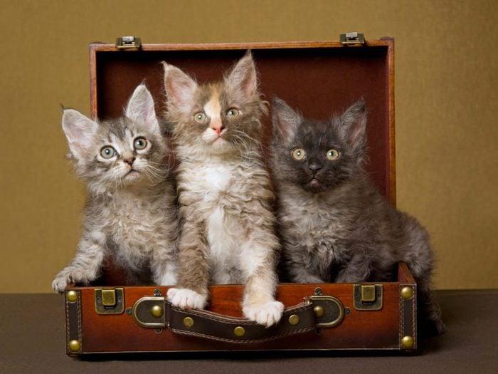 Les chats LaPerm sont particulièrement mignons.