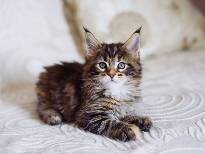 Le maine coon est un chat dont la fourrure est adaptée aux hivers rudes.