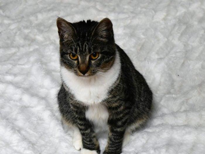 Le chat Manx ne possède pas de queue.