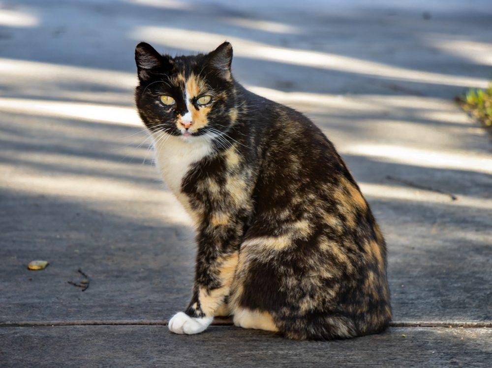Le Manx est un chat qui se caractérise par son absence de queue.