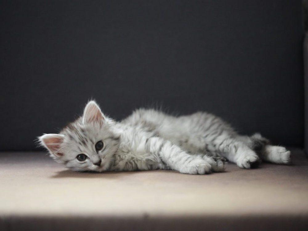 Le chat des forêts norvégiennes ne termine sa croissance qu'à l'âge de 5 ans.