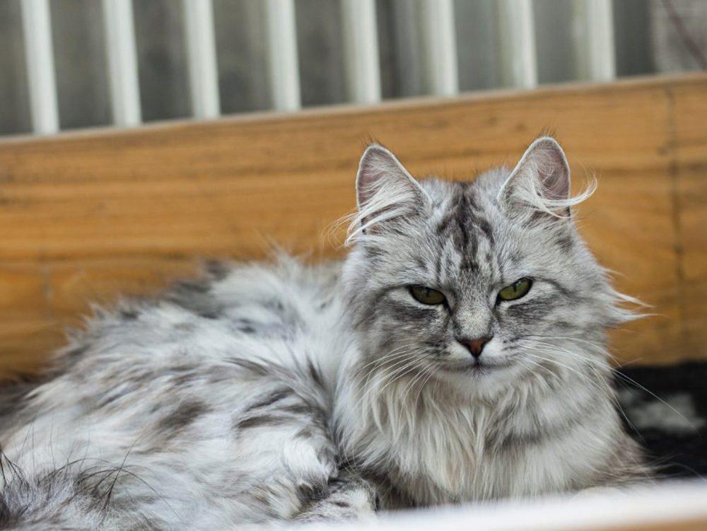Le chat des forêts norvégiennes est parfois comparé à un ours en peluche.