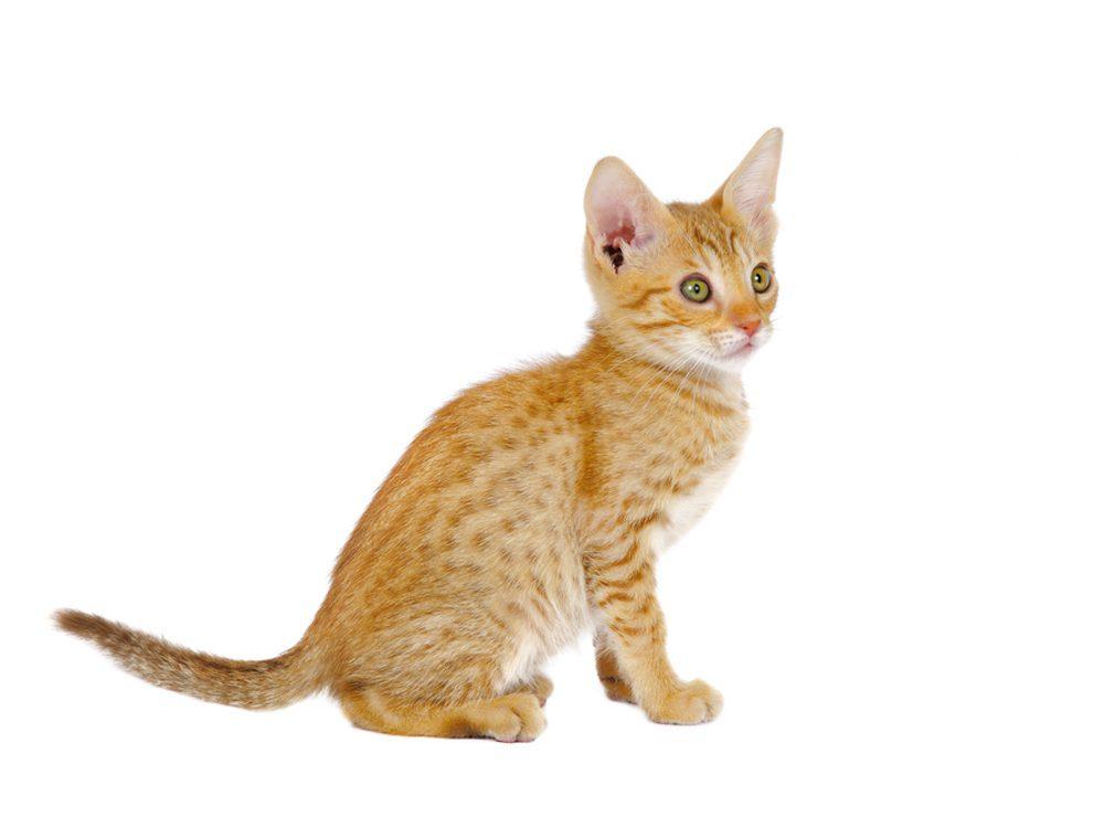 Le pelage du chat ocicat est court.