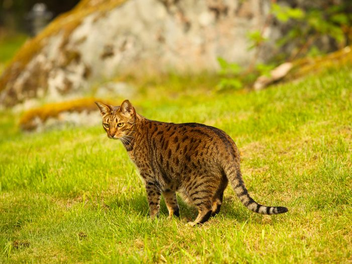L'ocicat est un chat au pelage tacheté.