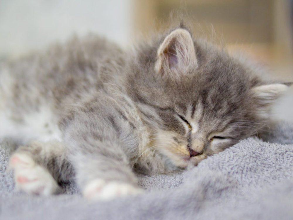 Le chat Persan est une race très ancienne.