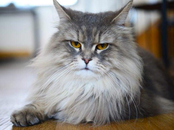 Le chat Persan n'est pas particulièrement actif.