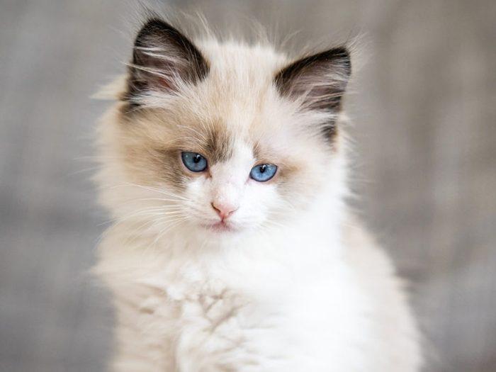Le ragdoll est un chat qui nait tout blanc.