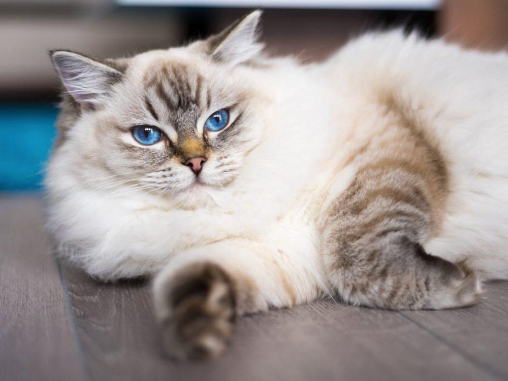 Le ragdoll est un chat dont le pelage prend sa couleur définitive à l'âge de deux ans.