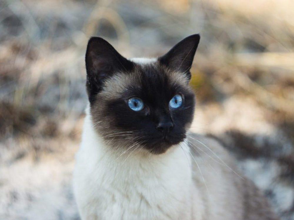 Le Siamois est un chat qui miaule de manière rauque.