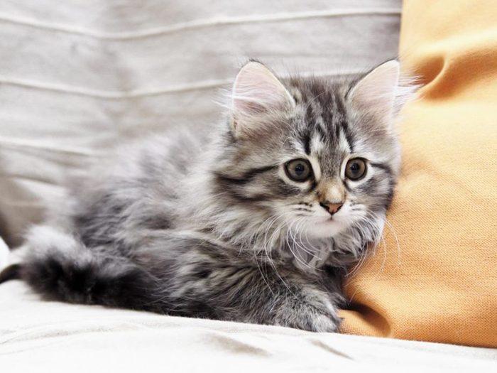 Le minois du chat sibérien est vraiment craquant.
