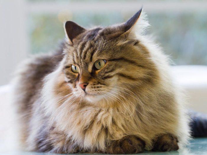 Le chat sibérien possède une épaisse fourrure.