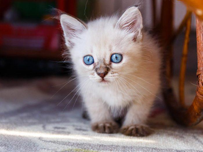 Le chat tonkinois s'ennuie souvent seul.