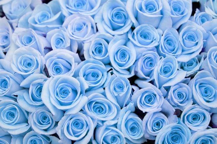 Couleurs de roses : bleu pour le rêve et l'inaccessible.