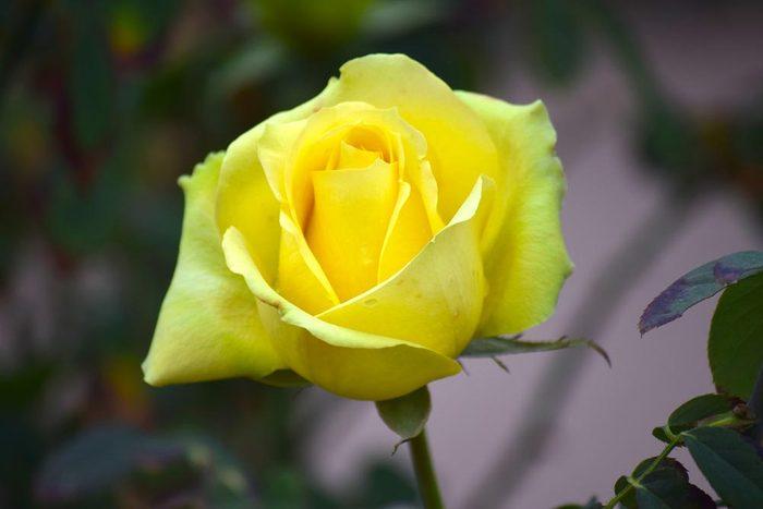 Couleurs de roses : jaune pour l'amitié et la joie.