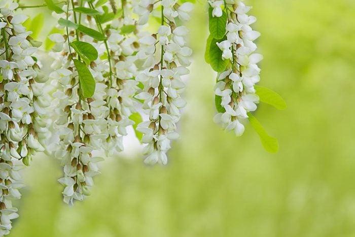 Couleurs de roses et autres fleurs : l'acacia pour l'affection pure et profonde.