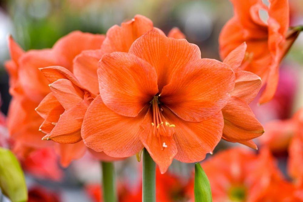 Couleurs de roses et autres fleurs : l'amaryllis pour la fierté de l'amour que l'on vit et le désir de courtiser.