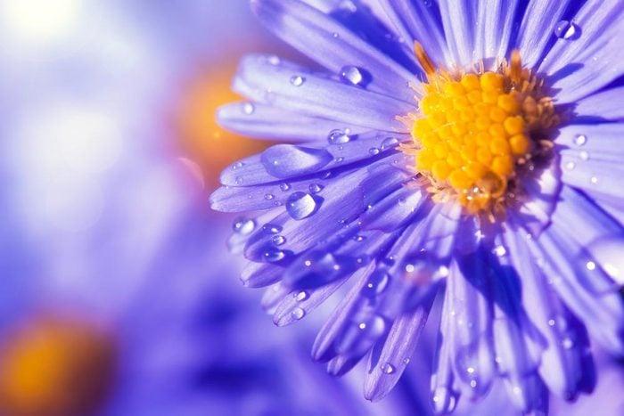 Couleurs de roses et autres fleurs : l'aster pour charmer son coeur.