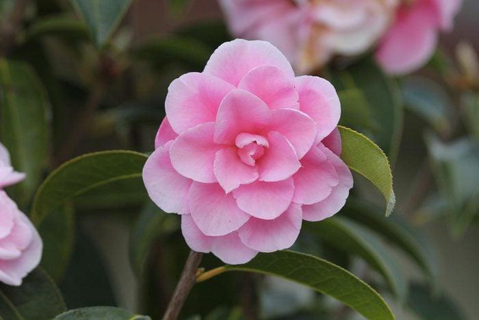 Couleurs de roses et autres fleurs : le camélia pour la loyauté et la reconnaissance.