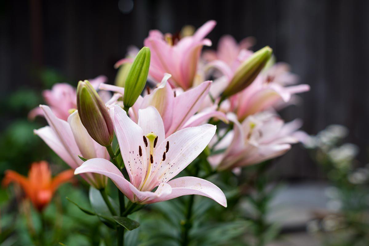 Couleurs de roses et autres fleurs : la fleur de lys pour la pureté et l'éblouissement.