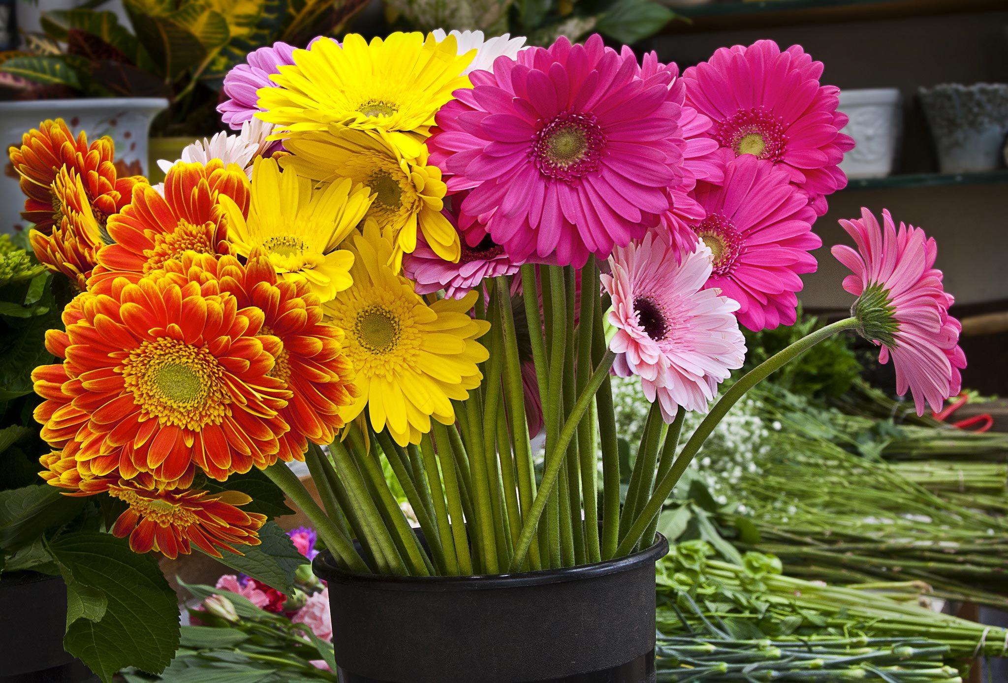 Couleurs de roses et autres fleurs : le gerbera pour les relations profondes et expérimentées.