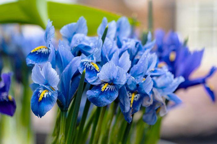 Couleurs de roses et autres fleurs : l'iris pour la confiance et l'amour.
